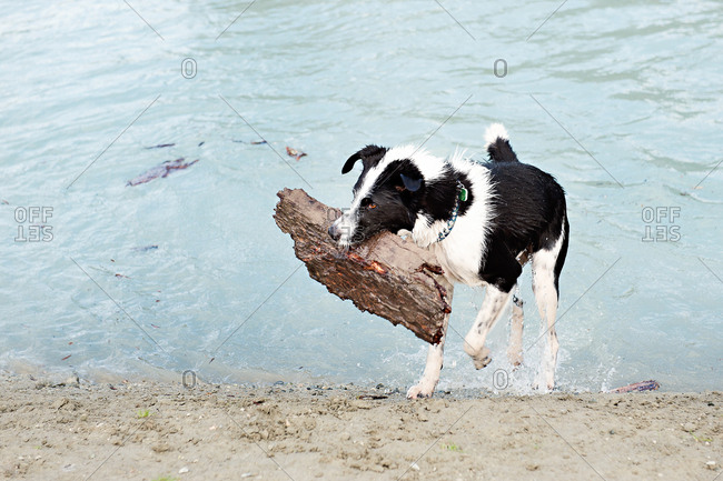 Dog playing with piece of wood by water