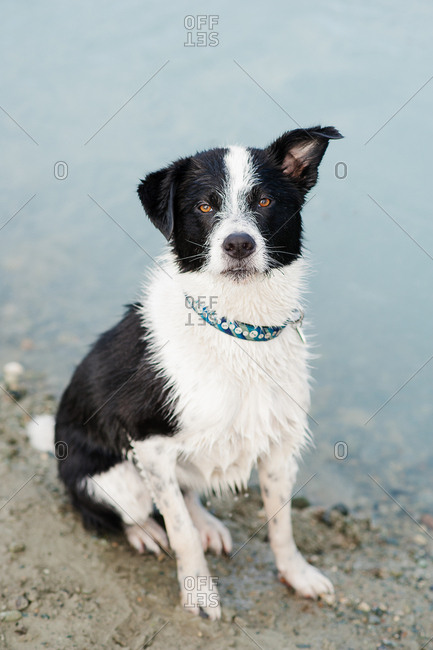 Portrait of a black and white dog at water's edge