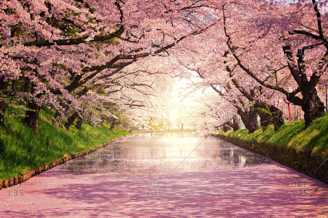 Cherry blossoms in Hirosaki, Japan