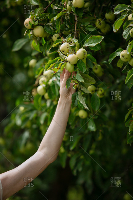 Hand picking green apples