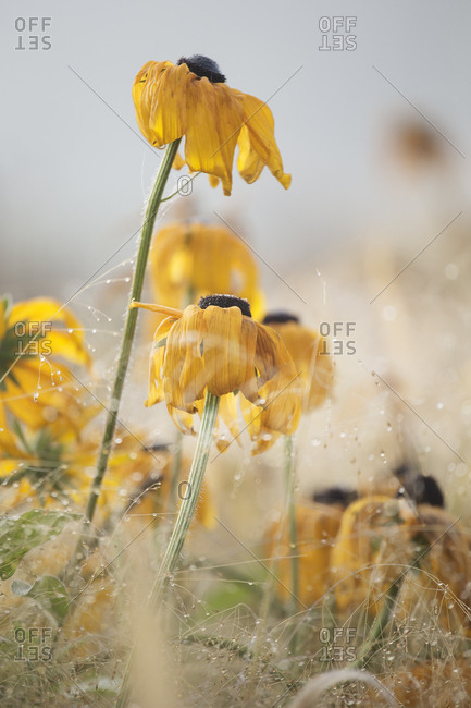 Close up of yellow flowers in a foggy field in autumn