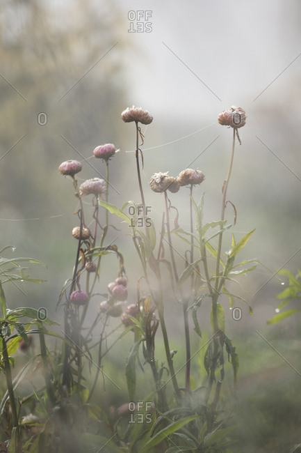 Flowers in a foggy field in autumn
