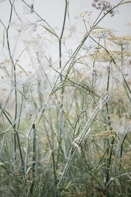 Tall grass and weeds in a foggy field in autumn