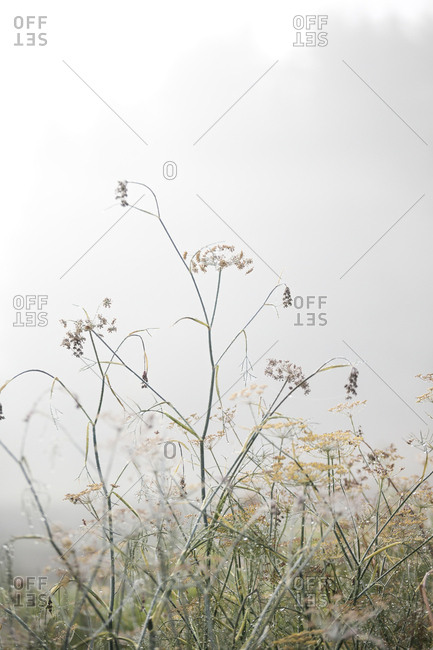 Weeds in a foggy field in autumn