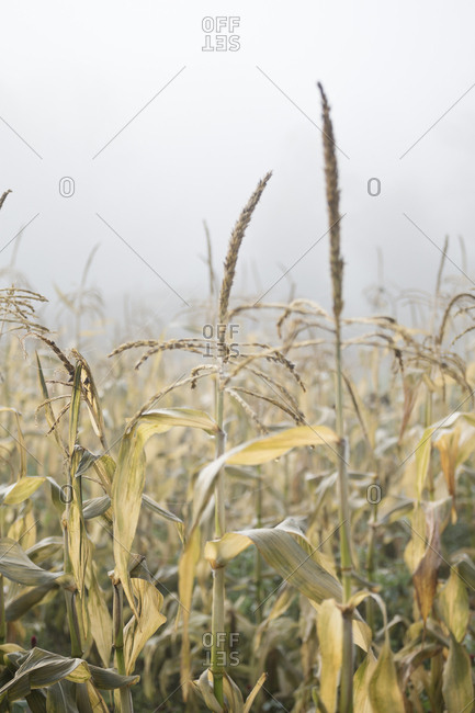 Tall weeds in a foggy field in autumn
