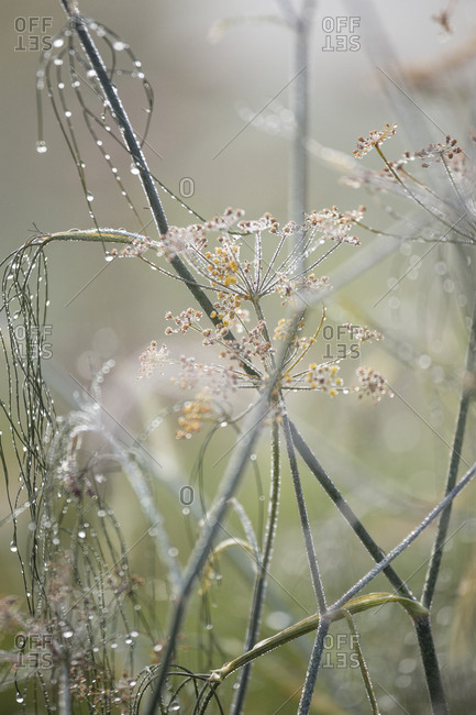 Dew on weeds in a foggy field in autumn