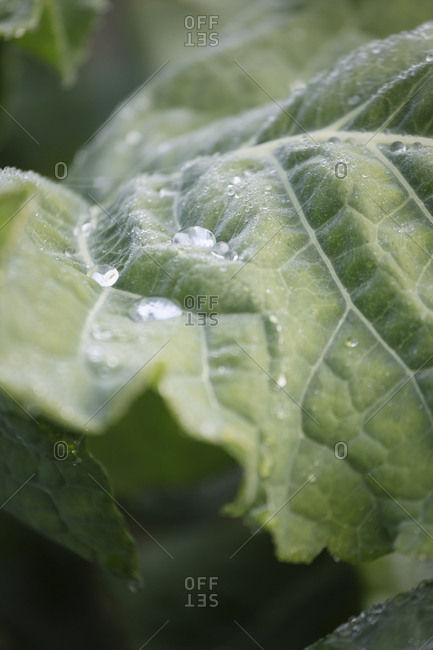 Close up of dew drops on green leaves