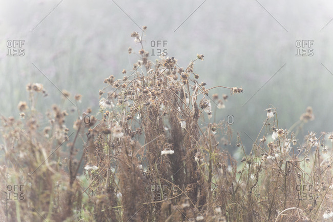 Brown wilted flowers in a foggy garden in autumn