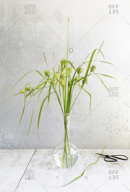 Tall green weed in a vase by scissors