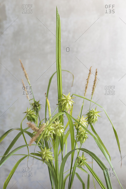 Close up of tall green weeds