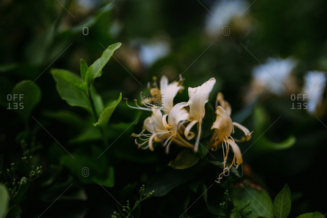 Close-up of honeysuckle flowers on bush