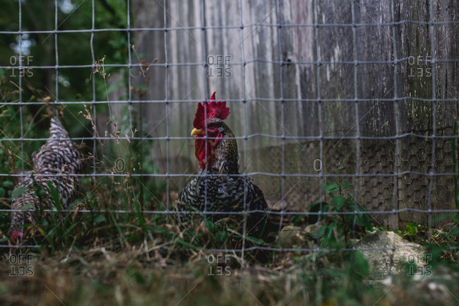 Chickens in a chicken coop