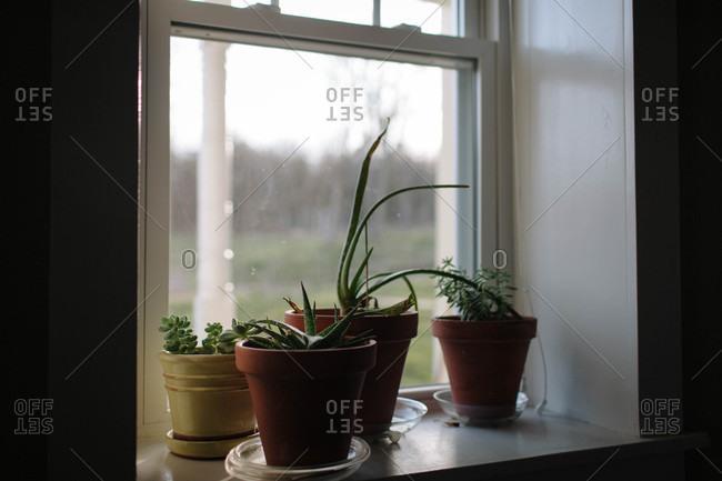 Aloe Vera and succulents in pots in sunlight on a windowsill