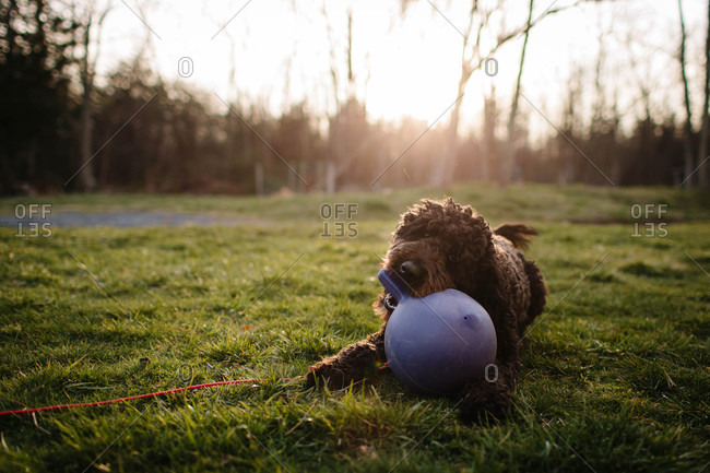 Dog lying on a lawn playing with a rubber ball