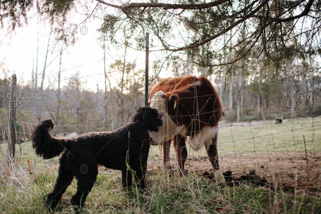 Dog and cow rubbing heads together through a fence
