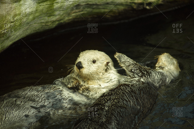 Sea otters couple play and swim in the water.