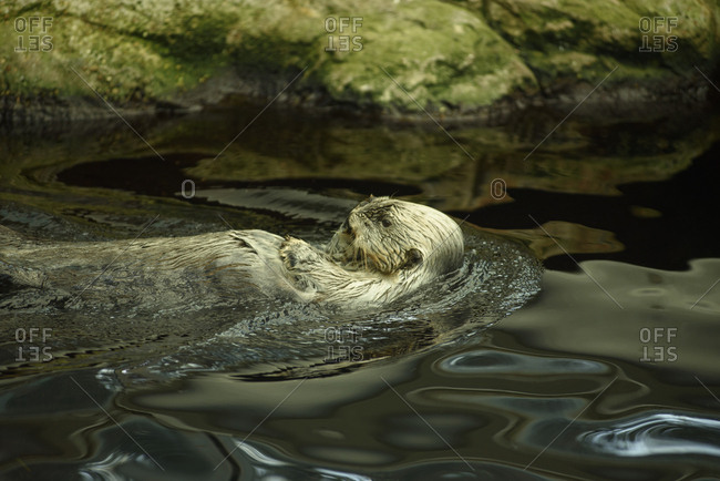 Sea otters swim in water