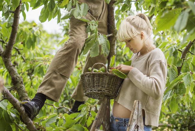 Denmark, Mon, Girl with grandfather picking cherries in garden