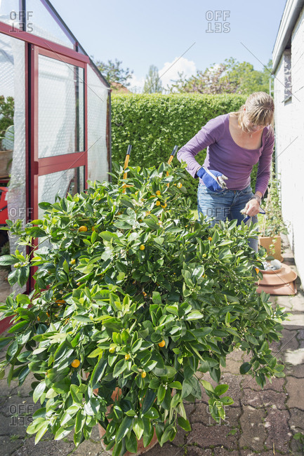 Sweden, Skane, Woman standing by potted lemon tree