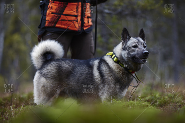 Sweden, Vasterbotten, Female hunter standing with dog (canis lupus familiaris)