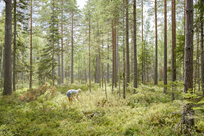Sweden, Ostergotland, Mature woman picking blueberries in forest