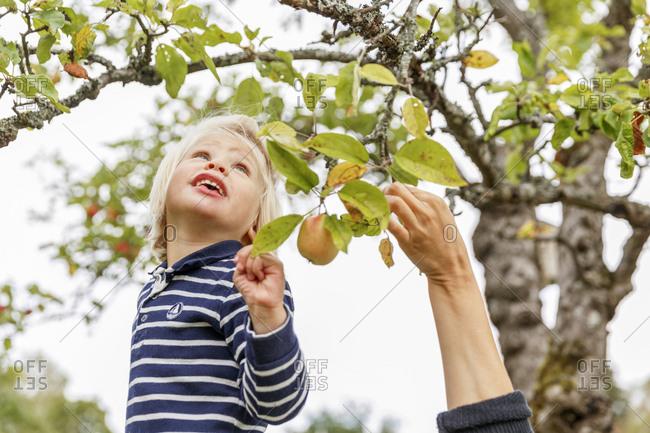 Sweden, Sodermanland, Jarna, Boy and mother picking apples