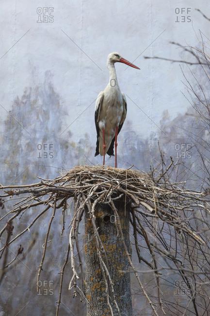 Sweden, Uppland, Djurgarden, Staffed stork standing in nest