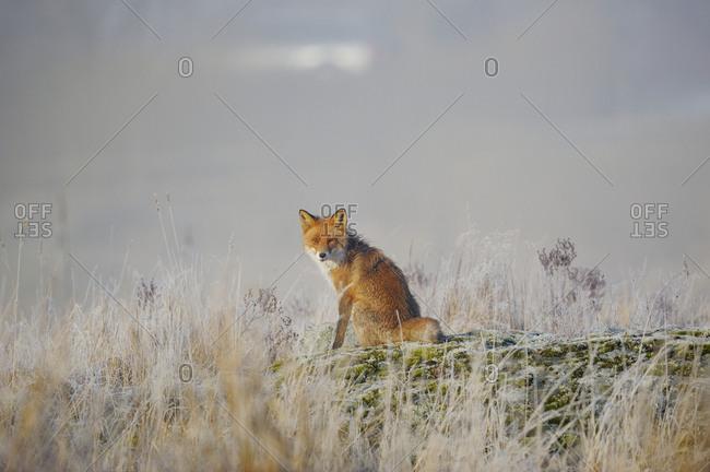 Sweden, Uppland, Lidingo, Red Fox (vulpes culpes) sitting in meadow