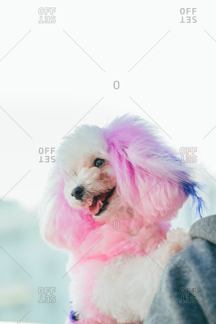 Portrait of a poodle with fashion pink hair