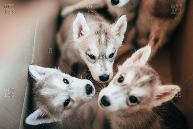 Group of baby Alaskan malamute dogs