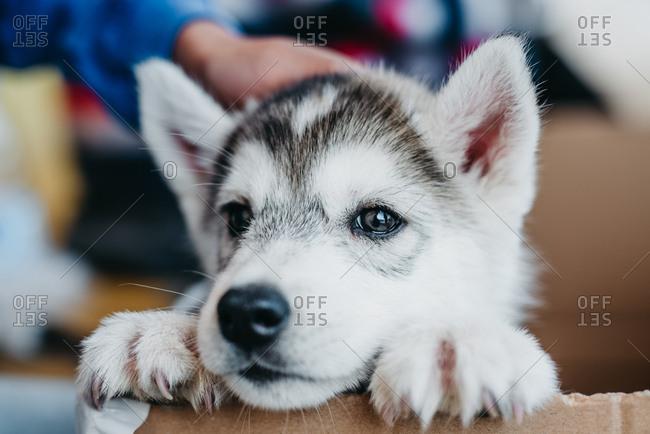 Baby Alaskan malamute dog