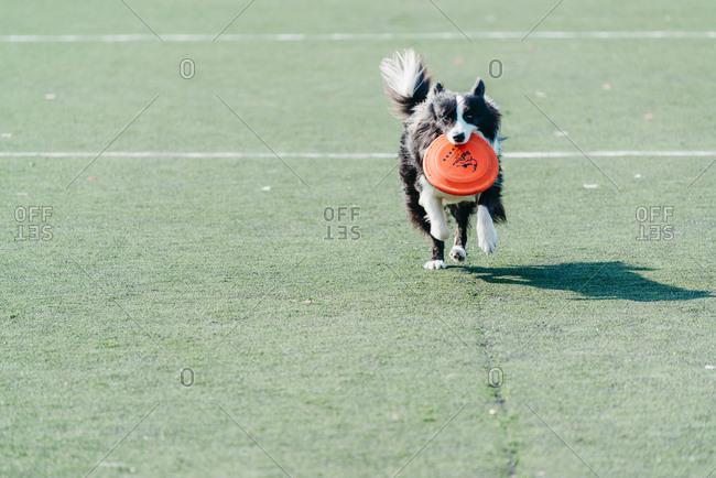 Guangzhou, China - December 18, 2016: A dog catches a disc during the Dog chow competition in Guangzhou, China.