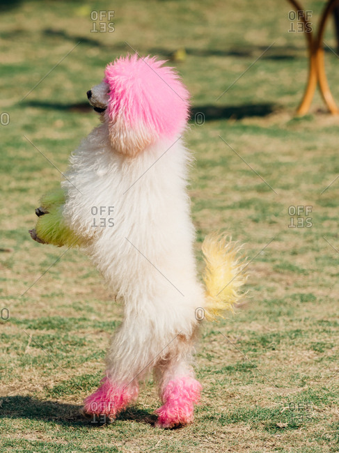 Poodle dog standing