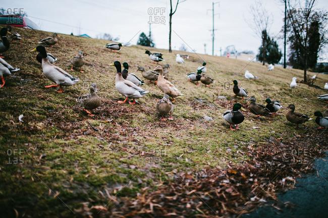 Variety of ducks at a park