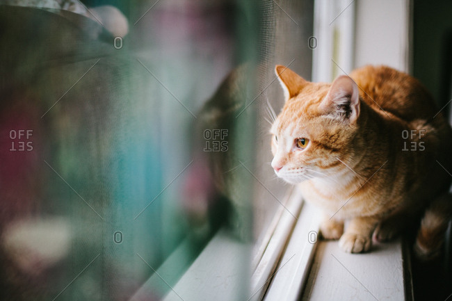 Yellow cat looking out window