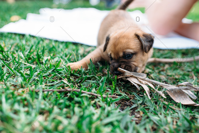 Cute puppy chewing on a palm frond.