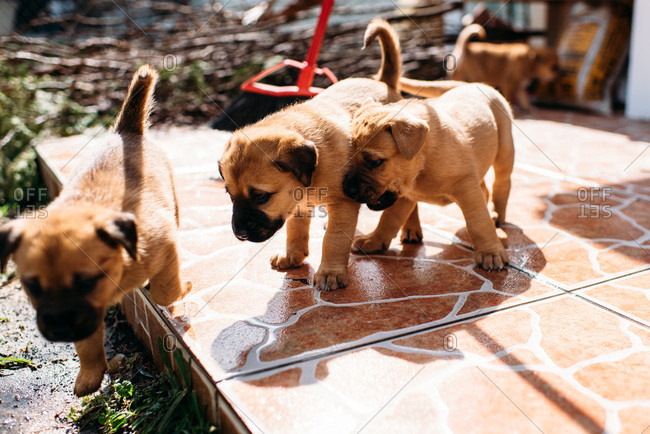 Cute puppies chasing each other on a stone patio.