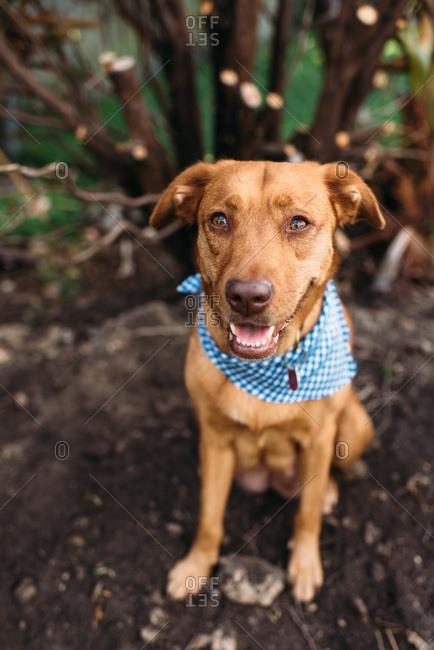 Brown dog wearing blue bandana looking at viewer.