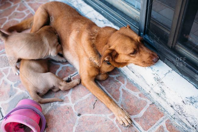 Mother dog nursing puppies.
