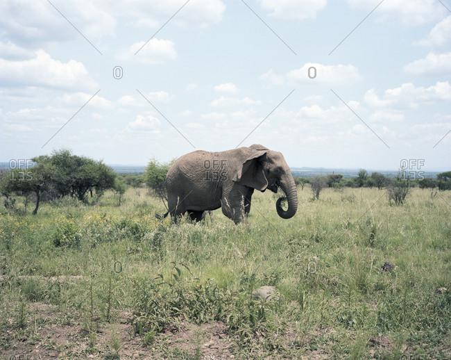 Elephant walking in grass
