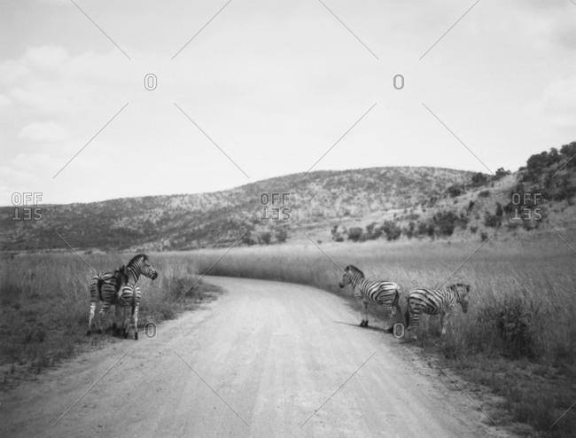 Zebras along roadway in South Africa