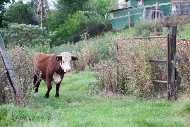 Single cow standing at a farm gate