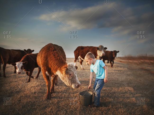 Boy feeding a cow out of a bucket