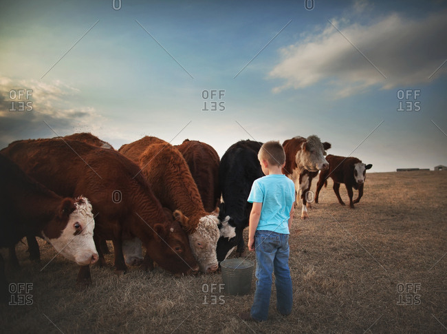 Boy feeding cows from a bucket