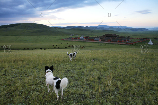 Mongolia - Selenge province - dogs on meadow and Amarbayasgalant monastery