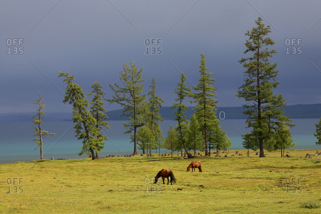 Mongolia - racing horses across the Central Asian steppe in the Altai Region of Bayan-Oelgii in Western Mongolia