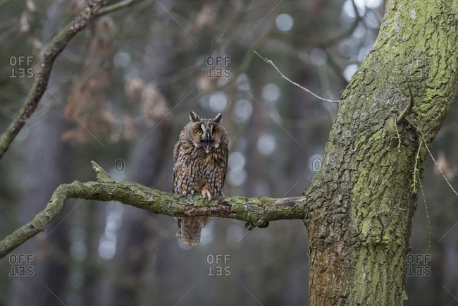 Long-eared owl - Asio otus - in forest