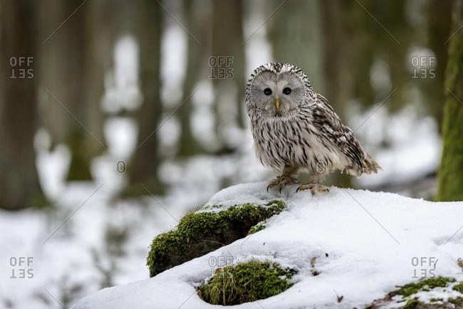 Ural owl - Strix uralensis - in forest