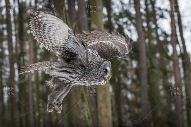 Czechia - Great grey owl - Strix nebulosa in forest