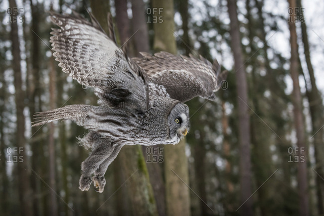 Czechia - Great grey owl - Strix nebulosa in forest